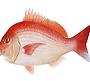【組合からのお知らせ】  産地応援企画「#鯛食べよう」に参画いたしました!